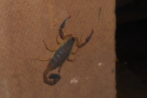 The scorpion we found behind a book case.